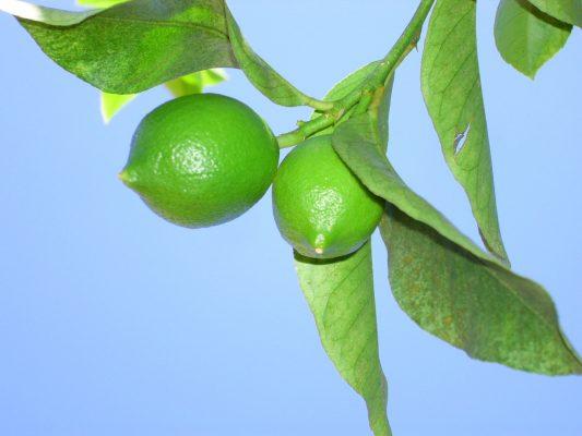Il Lime fresco e non ancora sottoposto alla lavorazione che lo farà diventare nero © Fotolia